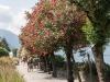 bellaggio_oleander-1