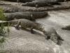 auf-der-faulen-haut-legen-krokodile