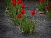 Tulpen in Basalt